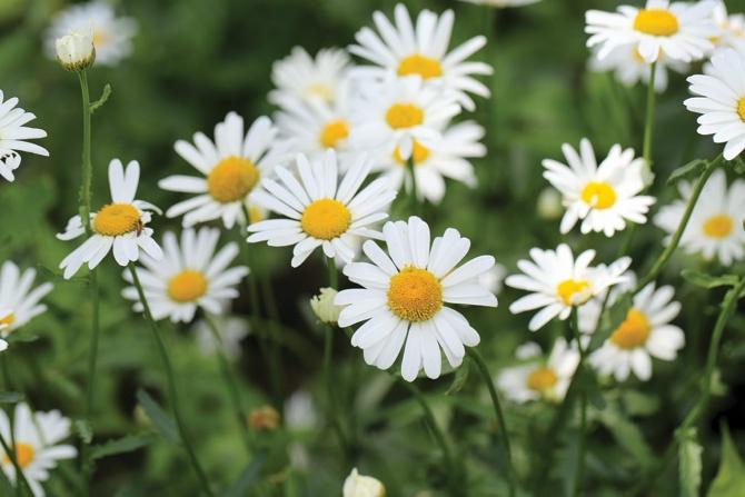 daisies in memoriam
